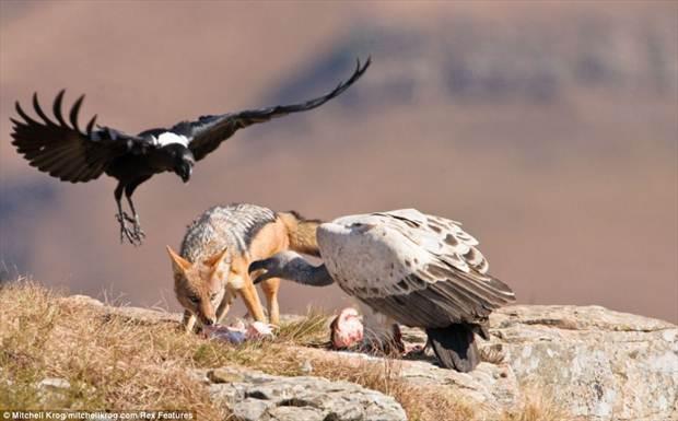 Jackal-takes-vulture-wins