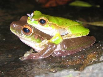Frog species becoming extinct