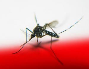 masquito