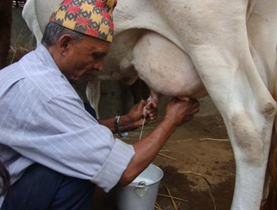 milking-from-cow