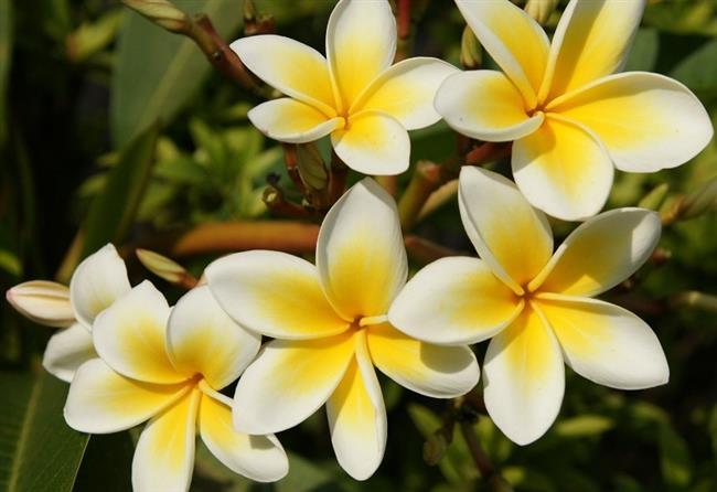 Golaiti Flower