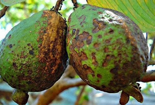 Rotten Guava