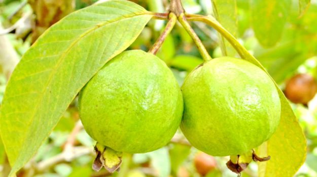 pair of Guava in a tree