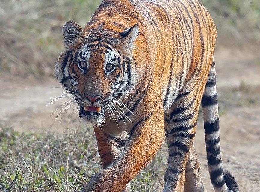 Tiger census begins today