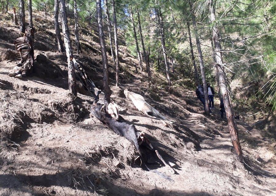 जंगलमा झुण्ड्यार गाईको सामूहिक हत्या